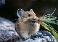 Как избавиться от крыс и мышей при помощи трав? Реально действенный способ!
