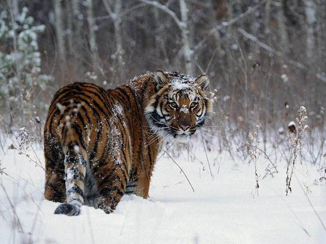 Популяция краснокнижных амурских тигров в дикой природе России продолжает увеличиваться! (Видео)