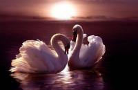 Воссоединение двух лебедей после долгой разлуки (Видео)