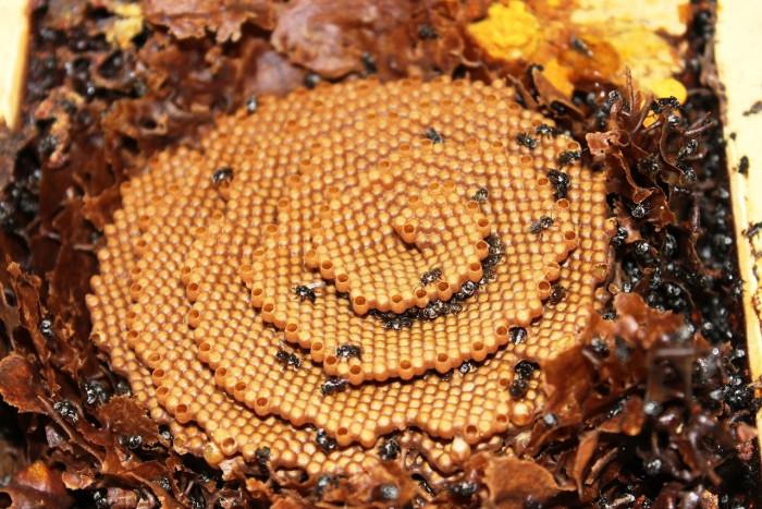 Австралийские сахарные пчелы — настоящие архитекторы