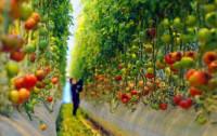 Почему работники теплиц не едят свои помидоры? Откровения работницы одного из овощеводческих хозяйств