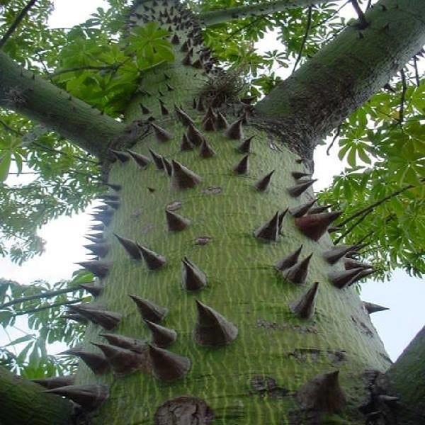 Одни из красивейших деревьев Земли (Фото)