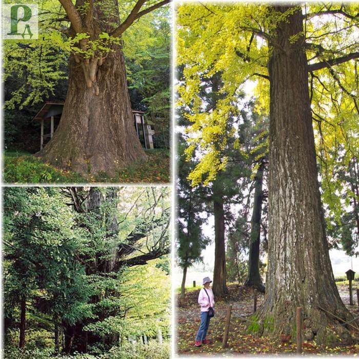 Деревья гиганты (+Фото)