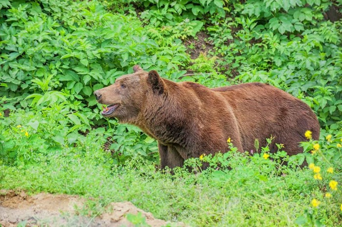 Медведь на свободе! (+Фото)