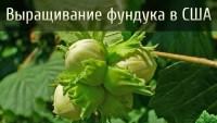 Выращивание фундука в США (Видео)