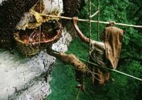 Как в Непале собирают мед (Видео)
