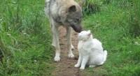 В зоопарке Кишинева волк подружился с кошкой - мясо сначала ест она (+Видео)