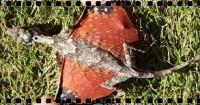 Ящерица дракон. Образ жизни и среда обитания ящерицы дракон (+Видео)