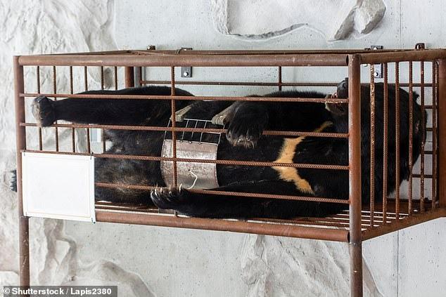Отрезаны лапы, вырваны глаза - Тигров и медведей безжалостно истребляют в угоду восточной медицине